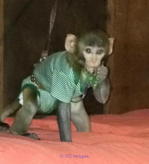BEBE SINGE DISPONIBLE POUR ADOPTION/ BABY MONKEY FOR ADOPTION quebec
